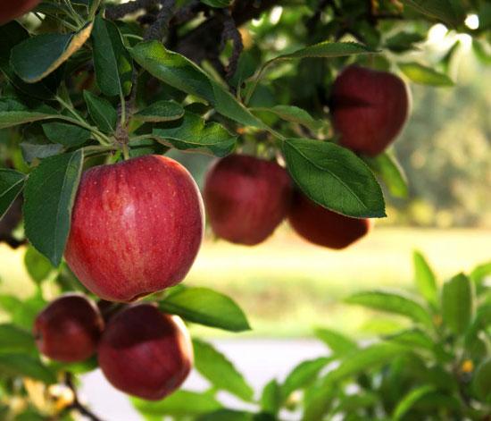 Làm giảm mỡ bụng với các loại quả từ thiên nhiên1