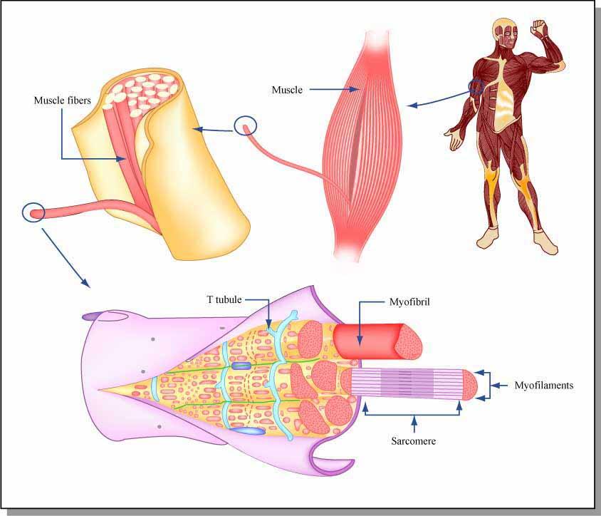 Giảm béo nhanh nhìn  từ góc độ khoa học 2